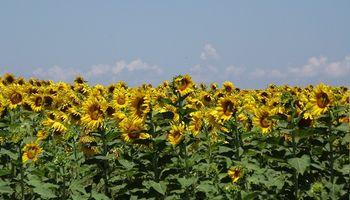 Santa Fe: las condiciones ambientales impidieron la siembra del girasol