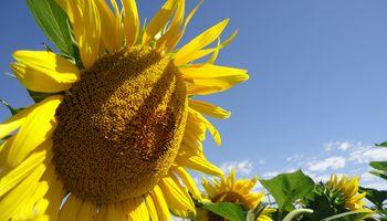La cosecha de girasol alcanza el 11,4% y el rinde promedio es de 20,3 quintales