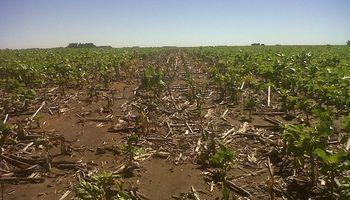 Cae la estimación de siembra de girasol en Santa Fe