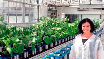 Buscan genes involucrados en el rinde del girasol