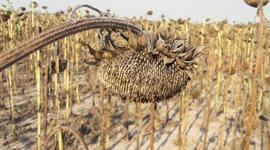 En Santa Fe, sorprenden para bien los rindes y la materia grasa del girasol