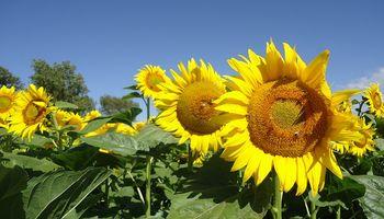Santa Fe: avanza la cosecha de girasol con buenos resultados