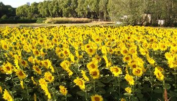 El girasol podría producir más aceite con una mayor densidad de siembra