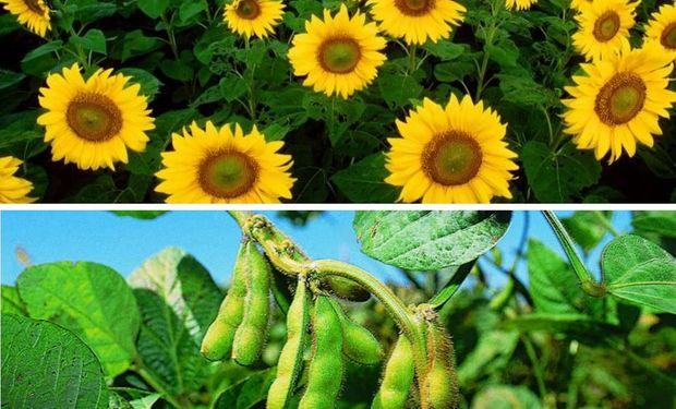 El girasol no es un producto, como puede ser la soja, que depende exclusivamente del mercado internacional.