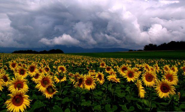 Girasol: ¿un cultivo en extinción?