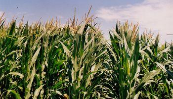 El maíz resiste los excesos y podría alcanzar un nuevo récord productivo