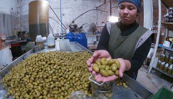 Los desafíos de producir aceitunas en Argentina
