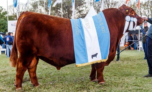 Angus:  un toro colorado fue el gran campeón en la Exposición Nacional de Primavera