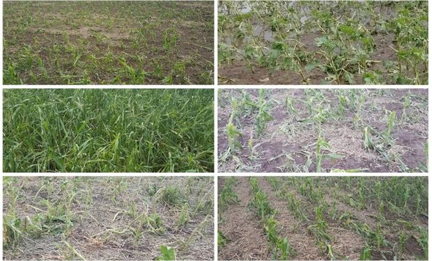Imágenes: así quedaron los lotes afectados por el granizo en Santa Fe