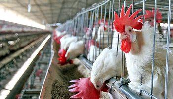 Los argentinos consumen más de 43 kilos de pollo por año y crece la producción aviar