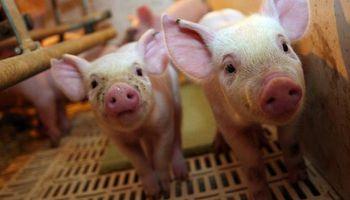 US$ 129 millones: ya tiene fecha la primera megaproducción de cerdos china en Argentina