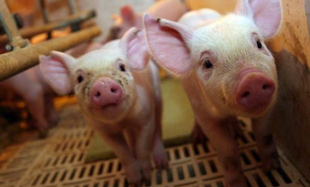 Inversión de 129 millones de dólares: ya tiene fecha la primera venta de la megaproducción de cerdos china en Argentina