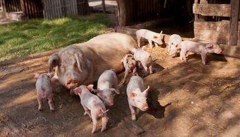 Mejoran los índices productivos de 4 mil granjas porcinas