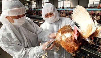 Sacrifican casi 19 millones de aves en Corea del Sur tras un brote de gripe aviar