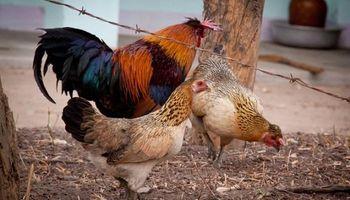 Gripe aviar: Vietnam confirmó el primer brote de H5N8