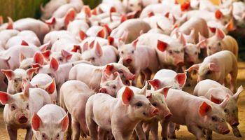 Detectan una nueva cepa de gripe porcina en el sur de Brasil