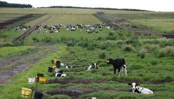 Guachera: la base de la vida productiva de la vaca