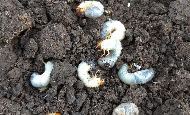 Trigo: principales insectos a monitorear en la presiembra