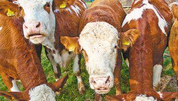 Empresa argentina creó un software para hablar con las vacas