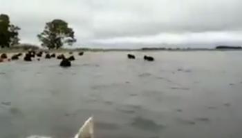 Bolívar bajo agua: así rescatan a la hacienda en los campos
