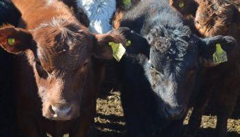 Las vacas 'hablan' entre ellas y mantienen su identidad