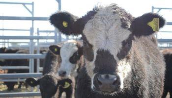 Importante oferta en el mercado de ganado Rosario