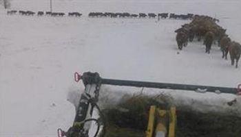 Video: una odisea en la nieve para las vacas en Estados Unidos