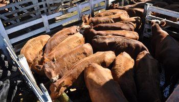 Hacienda liviana y vacas de exportación: los dos escenarios de Liniers