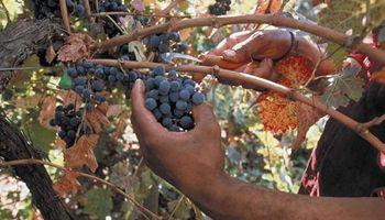 Cosechadores de uvas: puntos claves del régimen laboral