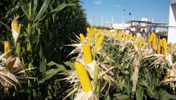 ¿Cuál fue el precio promedio de exportación de los híbridos de maíz argentinos?
