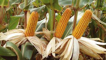 Cae la exportación de híbridos de maíz