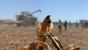 Maíz: 5 referentes técnicos del cultivo adelantan las características de los híbridos que vienen