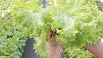 Experiencia hidropónica: cultivan verduras súper resistentes al pie de las sierras puntanas
