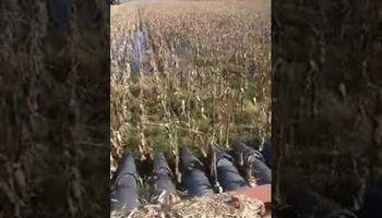Así cosechan el maíz bajo el agua
