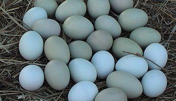 Estados Unidos habilitó la importación de huevos