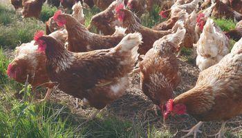 Una cadena de supermercados comenzó a ofrecer huevos de gallinas libres de jaulas
