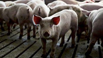 Libre y gratuita: una charla de especialistas abordará la sanidad, nutrición y manejo del negocio porcino