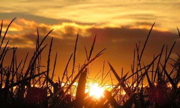 El USDA dio a conocer ayer el Estado de Cultivos en Estados Unidos.