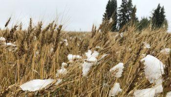 El trigo lidera las subas y alcanza un máximo desde julio en Chicago