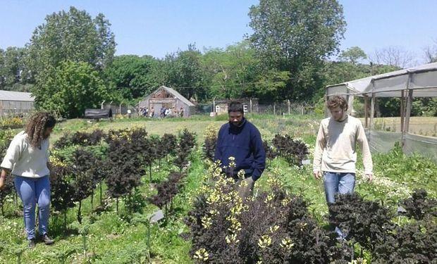 El kale es una hortaliza de hoja que en los últimos años se instaló en diferentes restaurantes como un producto gourmet.