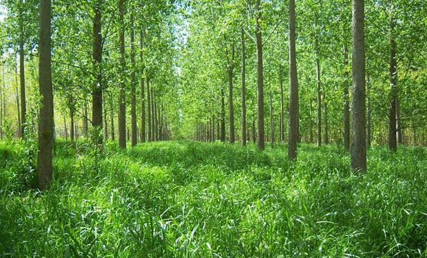 Duplican el forraje para el ganado bajo las forestaciones del Delta.