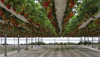 Cherries y berries quieren crecer