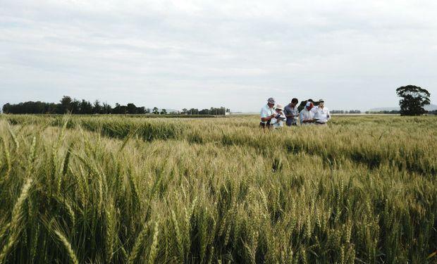 """Un informe """"online"""" del rendimiento de los cultivares de trigo pan para decidir que variedad de trigo sembrar en la nueva campaña."""
