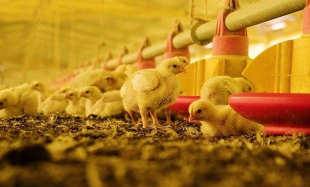 Claves a tener en cuenta para prevenir la laringotraqueitis infecciosa aviar