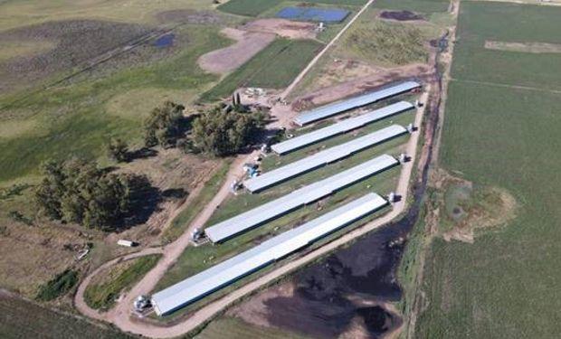 Con una inversión de $100 millones, una empresa busca aumentar su producción de ganado porcino