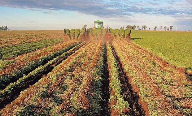 La cosecha de maní crecería 4,8%