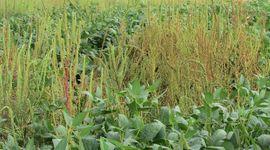 Malezas: existen 522 especies resistentes a los herbicidas y cada año se agregan 12 más