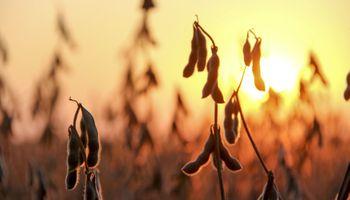 Fuerte baja para la soja: los factores detrás del desplome