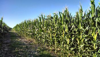 Por qué la UE no apoya cultivos genéticamente modificados