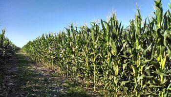 Sube el maíz por mayor fortaleza del petróleo